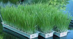 easygreenwheatgrass.jpg (12050 bytes)